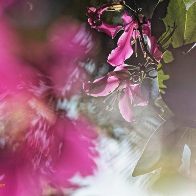 Fine art photo print Nature Flowers Garden Hibiscus